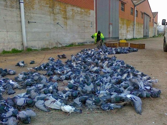 captura de palomas