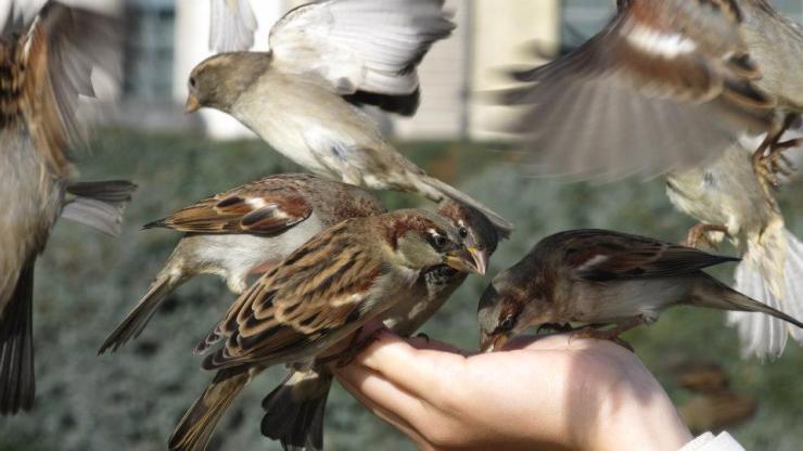 Convivencia entre gorriones y personas