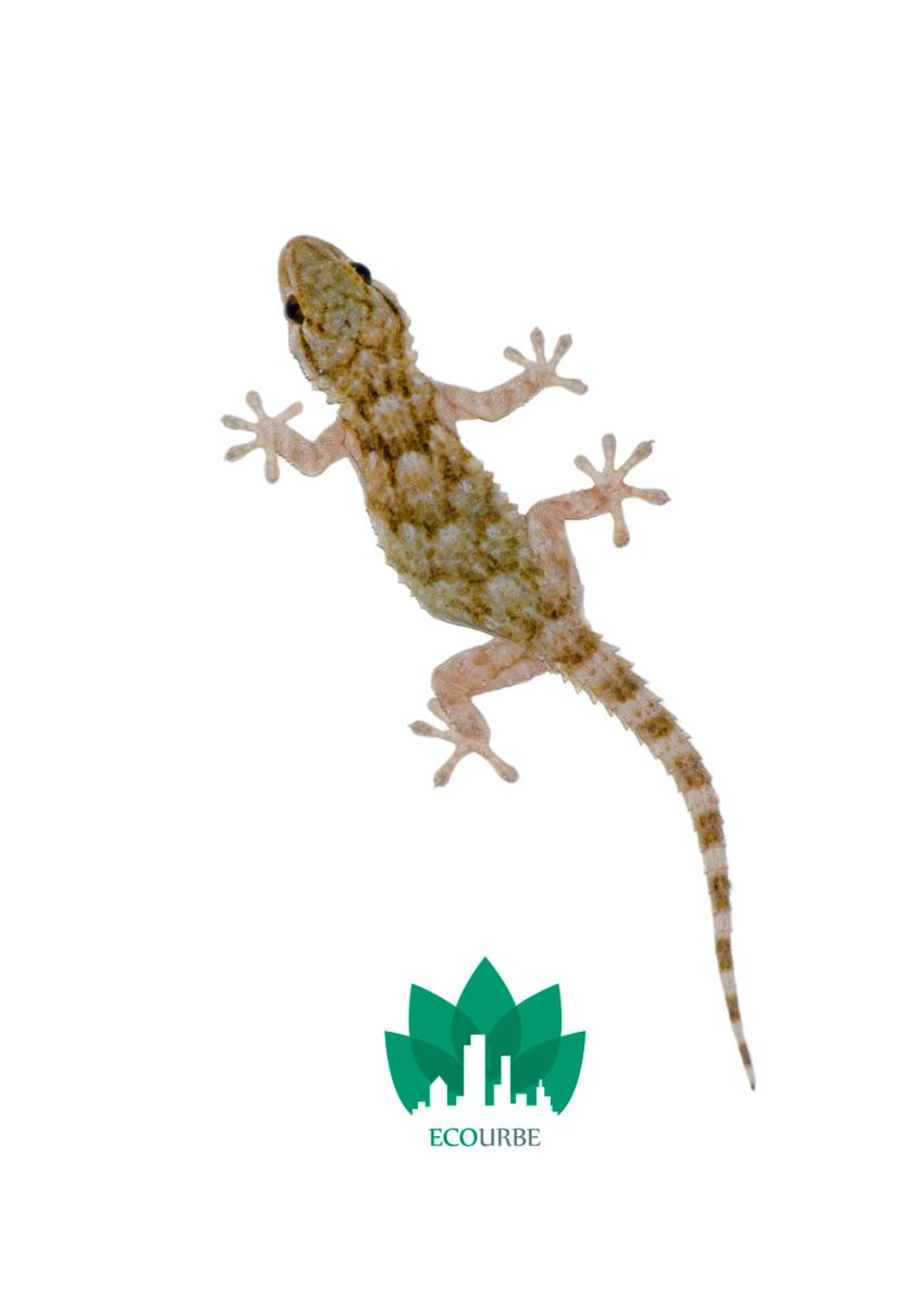 La Salamanquesa Nuestro Gecko Urbano Ecourbe