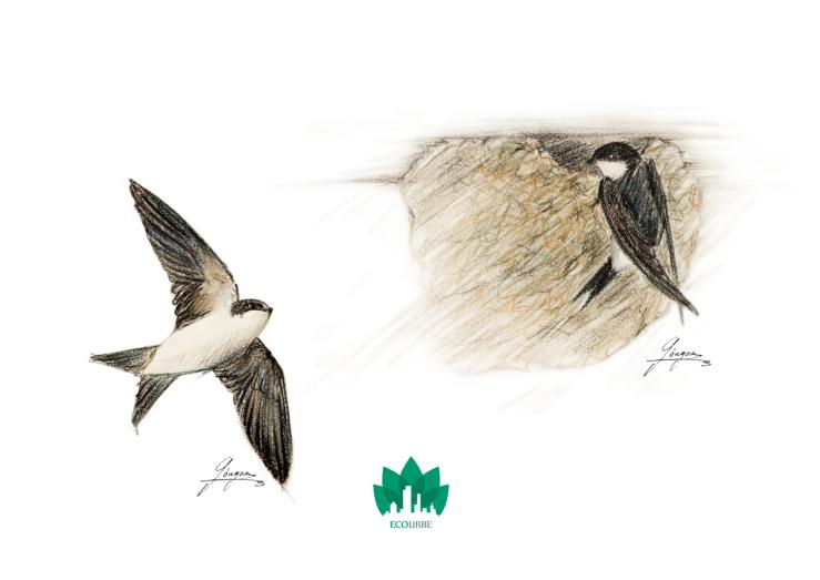 Avión común y nido