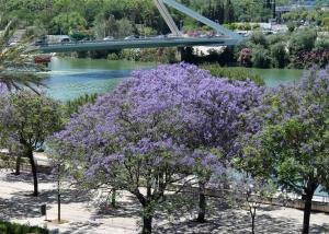 Flores lilas de la Jacaranda ovalifolia