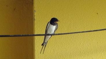 Golondrina con nido en el patio de la casa