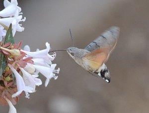 esfinge colibrí libando en vuelo
