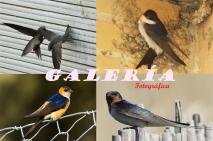 Galería de fotos hirundínidos yvencejos