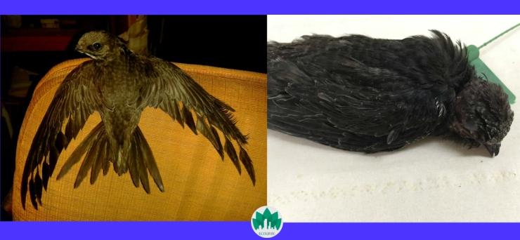 vencejos-con-plumas-en-mal-estado