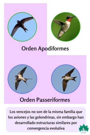 parentesco entre vencejo y colibrí