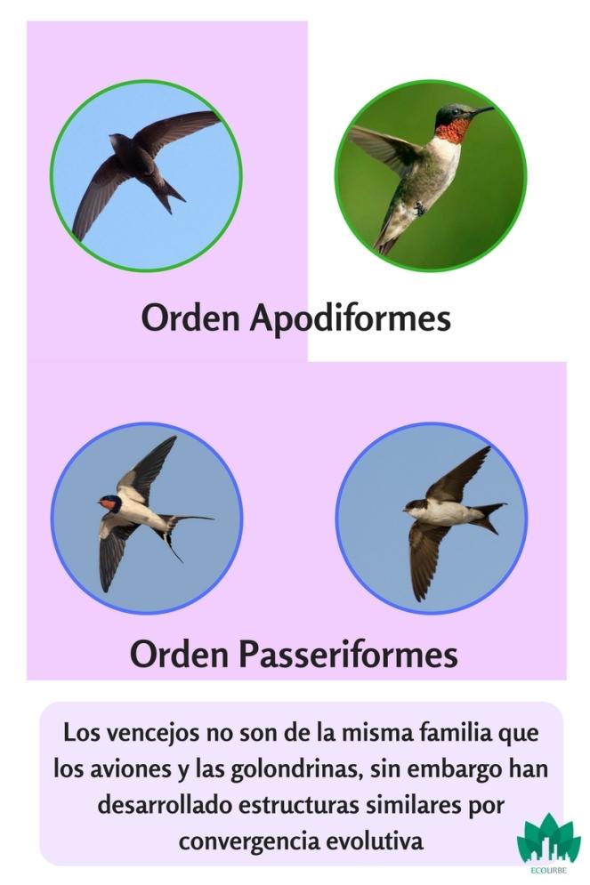 Por qué los colibríes están emparentados con losvencejos