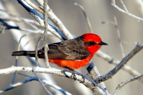 extinct-vermilion-flycatcher-extinct
